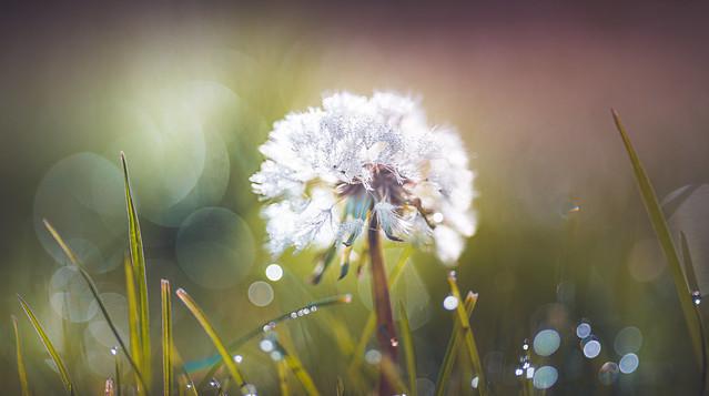 Dewdrops on dandelion