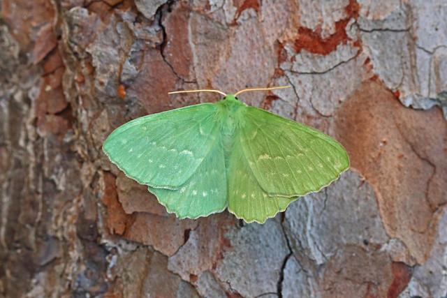 70.299 Large Emerald (Geometra papilionaria), Moss Morran, Fife