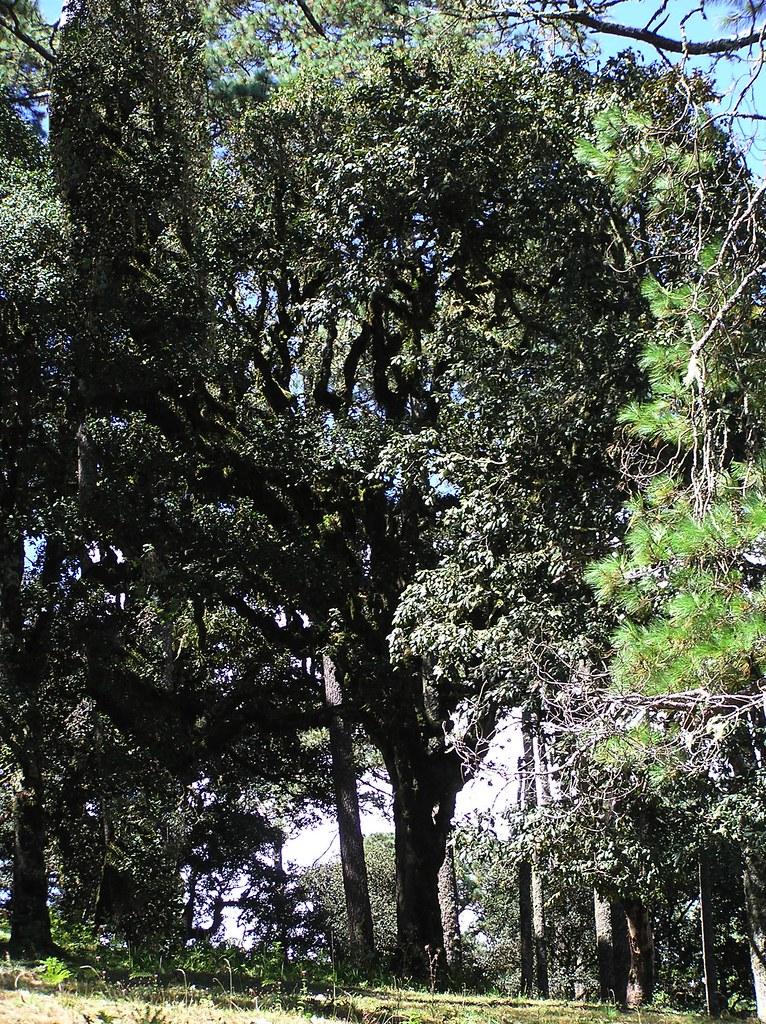 Quercus conzatti Trel. 1924 (FAGACEAE).