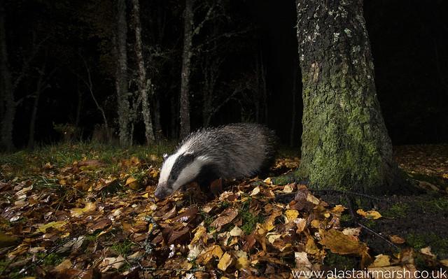 Badger at Night
