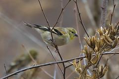 Goldfinch feeding-1
