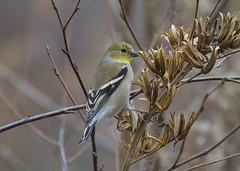 Goldfinch feeding-2