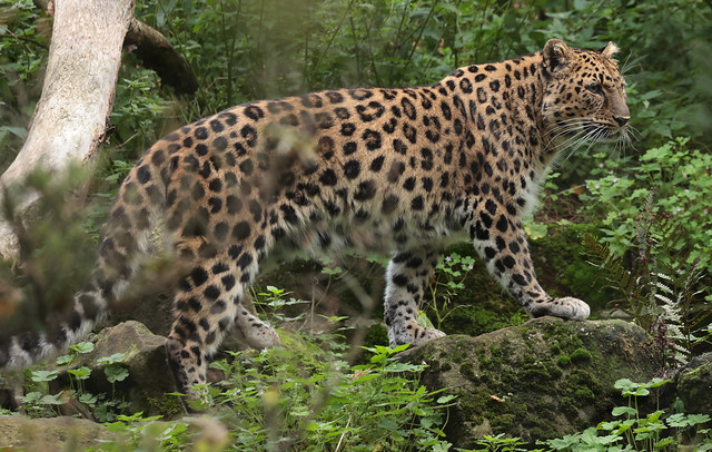 amurleopard Blijdorp 9K2A2245