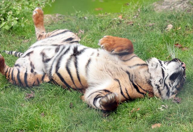 sumatran tiger Alia Blijdorp 9K2A1286
