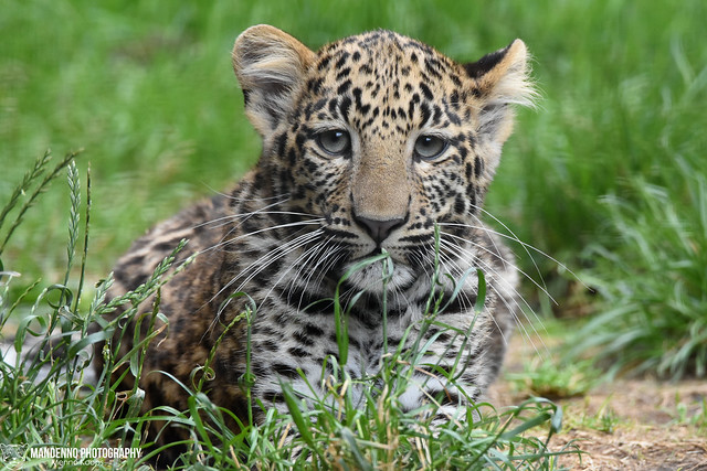 African leopard cub - Pakawipark