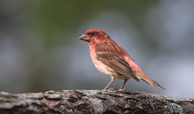 Purple Finch / Roselin pourpré( Diane )