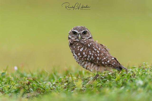 Burrowing Owl | Athene cunicularia | 2020 - 5