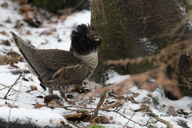 Ruffed Grouse (Bonasa umbellus)