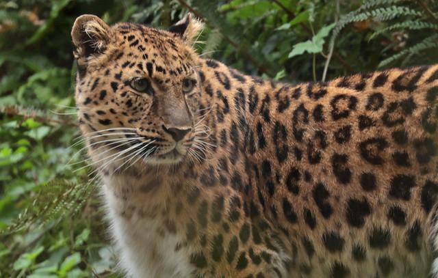 amurleopard Blijdorp 9K2A2269