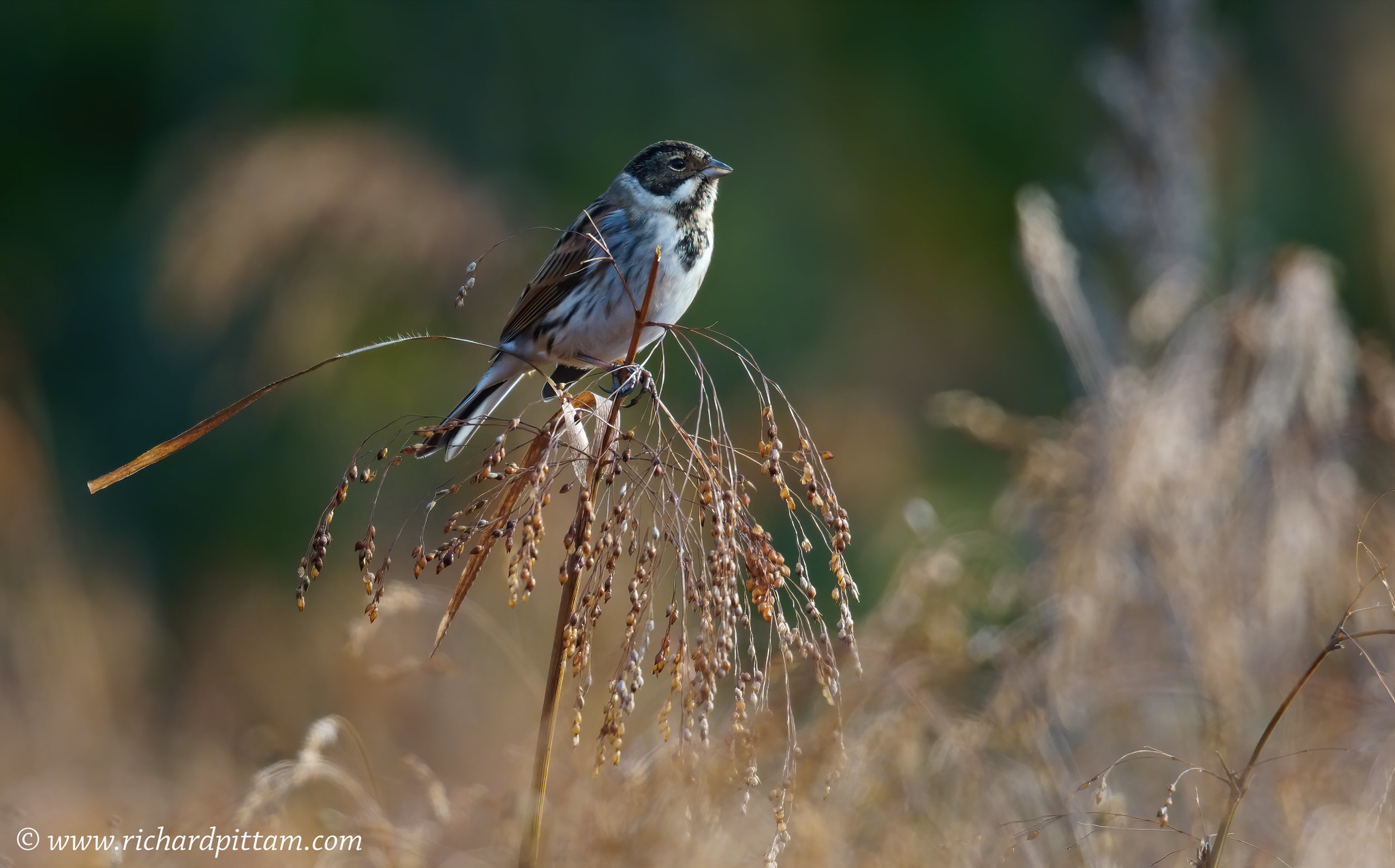 Reed Bunting - in a type of wild Millet crop