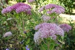 Au jardin, sédum remarquable (Sedum spectabile), Bosdarros, Béarn, Pyrénées Atlantiques, Nouvelle-Aquitaine, France.