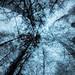 Sibelius' forest II