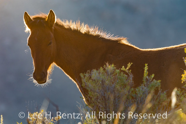 Wild Horses Inhabit Bighorn Canyon