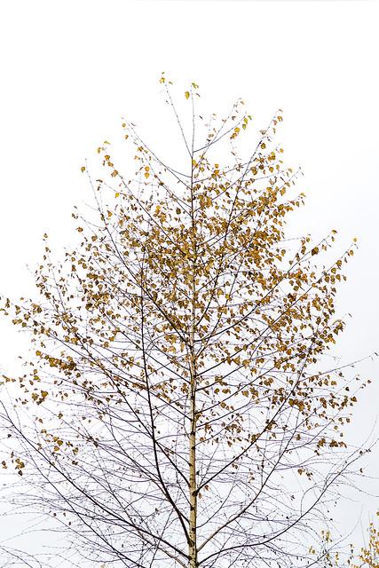 Fall Birch, Surrey Bend Park