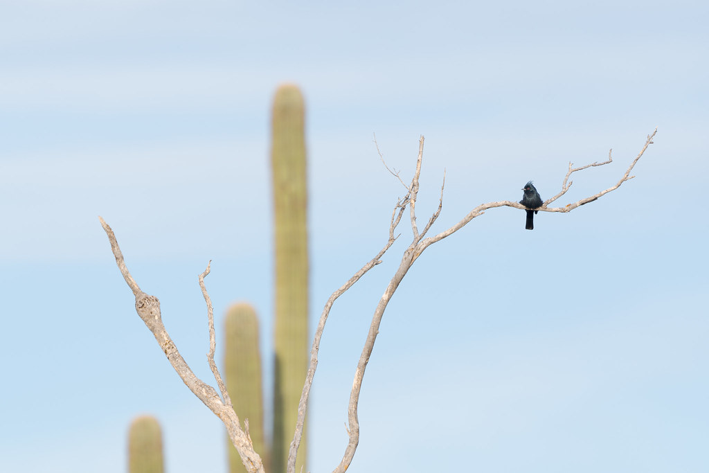 A male phainopepla perches on a dead tree with the arms of a saguaro visible in the background on the 118th Street Trail in McDowell Sonoran Preserve in Scottsdale, Arizona on November 22, 2020. Original: _RAC8600.arw