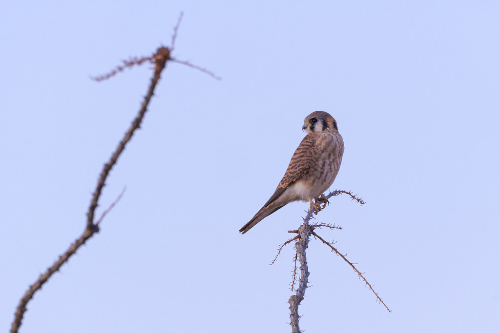 A female American kestrel perches atop an ocotillo right after sunset on the Latigo Trail in McDowell Sonoran Preserve in Scottsdale, Arizona on November 26, 2020. Original: _RAC8875.arw