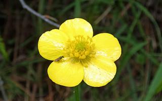 20201122_0371 Australian Buttercup - Ranunculus lappaceus