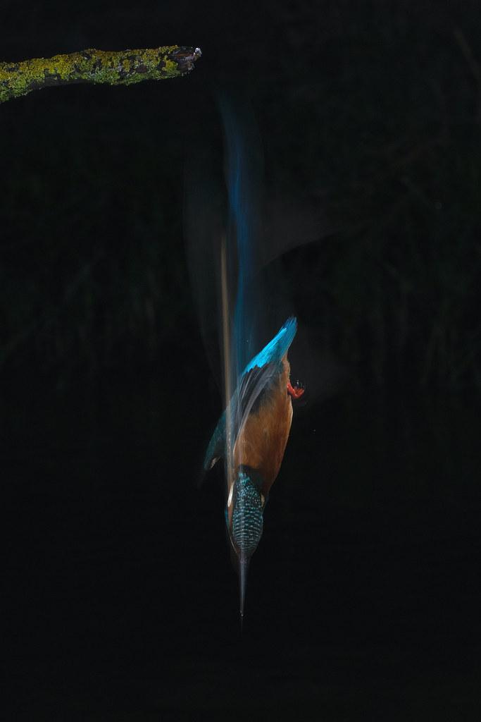 Martín pescador común (Alcedo atthis) Common kingfisher