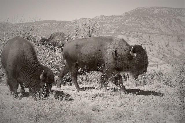 DSCN2963 Bison on the Caprock