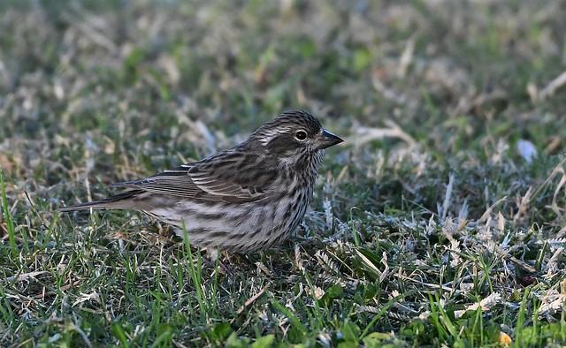 Cassin's Finch, Haemorhous cassinii