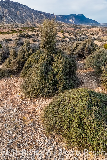 Curl-leaf Mountain Mahogany in Bighorn Canyon