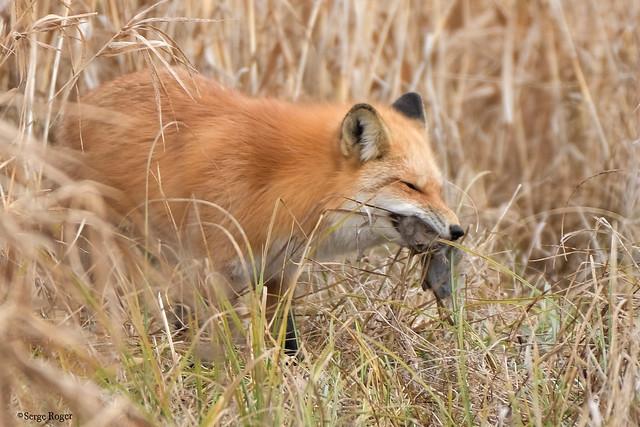 Renard roux, Fox, Chateauguay, Qc