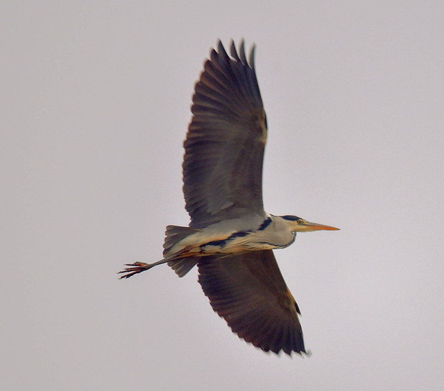 Grey Heron - Graureiher (Ardea cinerea)