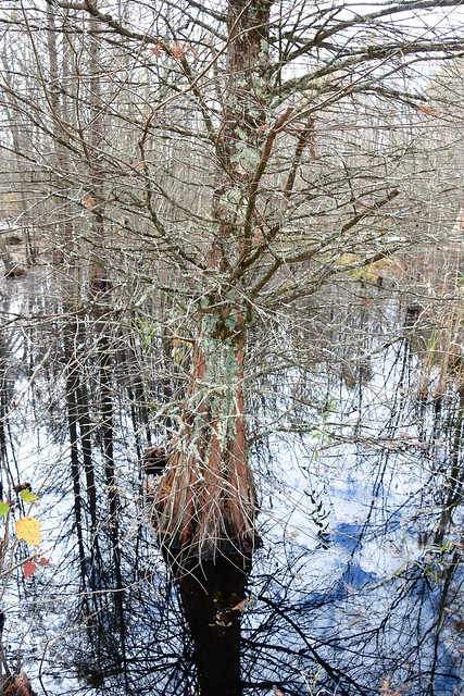 Great Dismal Swamp   20.11.16   DSC_4620