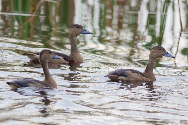 Lessser Whistling-Duck