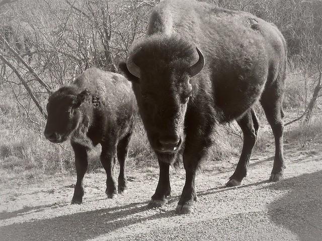 DSCN3026 Bison