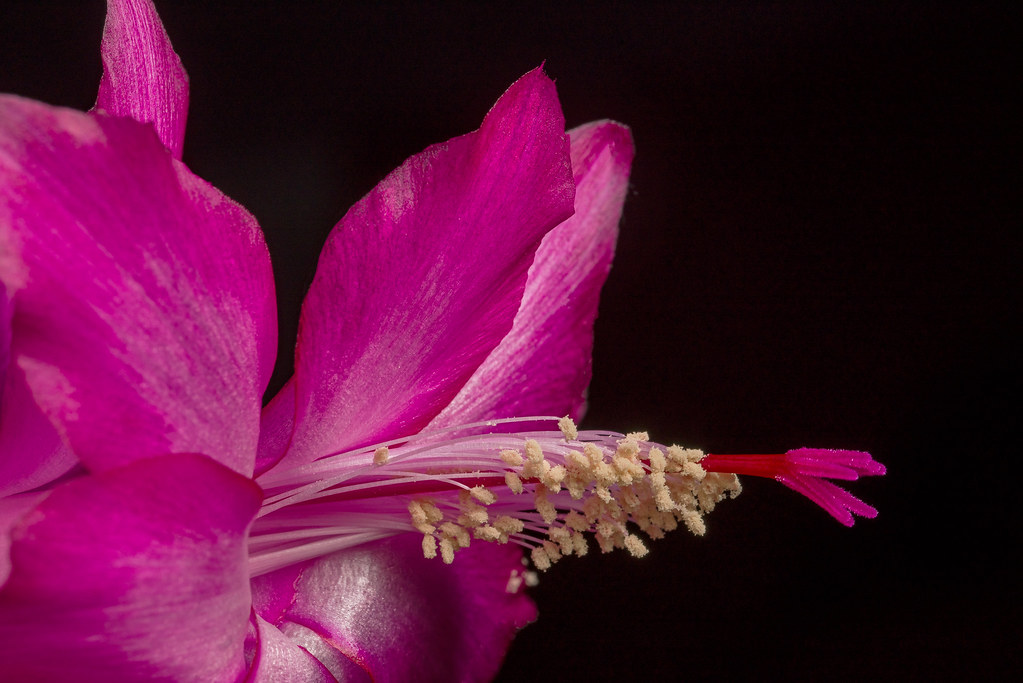 Schlumbergera-Christmas cactus