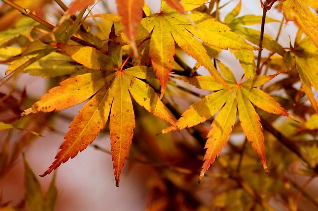 Maple leaves / Juharlevelek