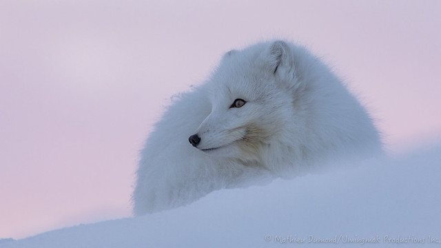 M_Dumond_Arctic_Fox_Morning_Break-5863
