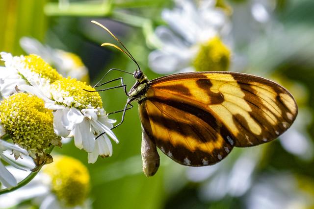 Heliconius ismenius (Tiger heliconian / Mariposa tigre)