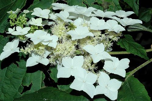 Hydrangea quercifolia  E-U du Sud-Est