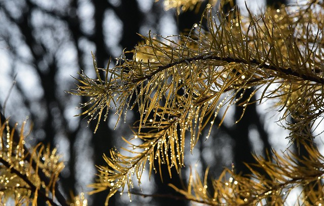 Novembernachmittag - spätherbstliche, junge Lärchen (Larix sp.); Bergenhusen, Stapelholm (15)
