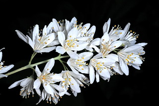 Deutzia x magnifica staphyleoides