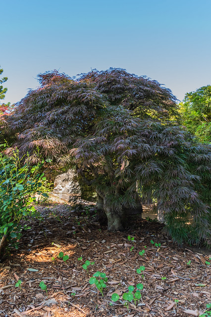 Down the garden path - Japanese Maple