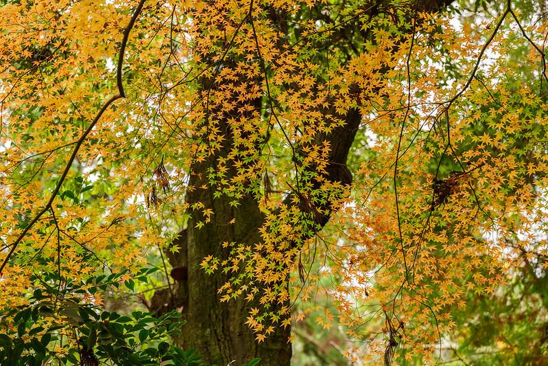 Japanese autumn maple leaf color