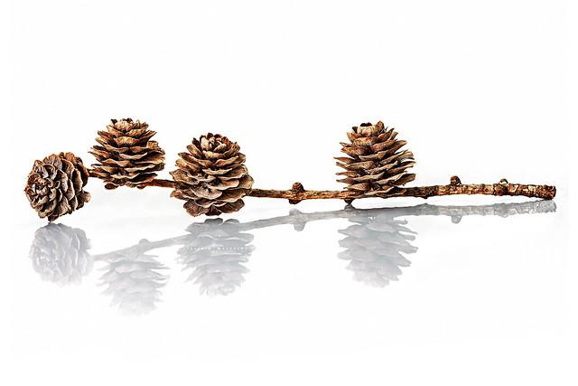 Pine Cones ...