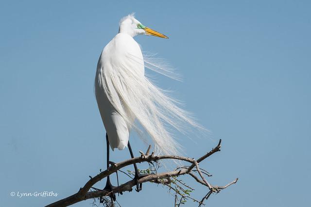 Great White Egret - Breeding plumage 502_5124.jpg