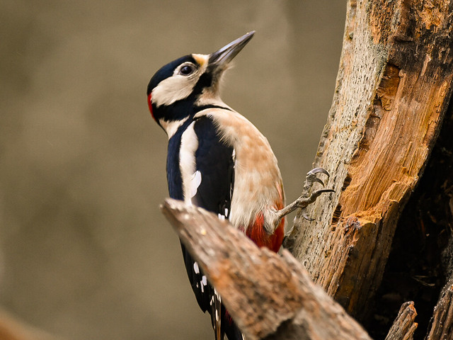 Greater Spotted woodpecker, Denny Wood, New Forest, Hampshire
