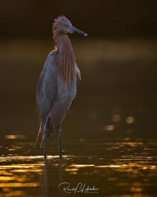 Reddish Egret | Egretta rufescens | 2020 - 3