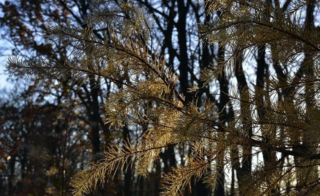 Novembernachmittag - spätherbstliche, junge Lärchen (Larix sp.); Bergenhusen, Stapelholm (18)