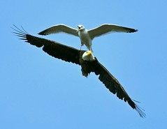 Bald Eagle being harassed by gull