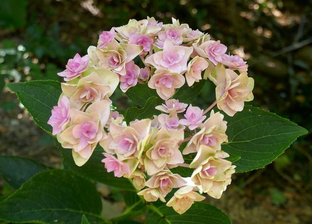 Au jardin, les nouveaux de l'année, hydrangea macrophylla