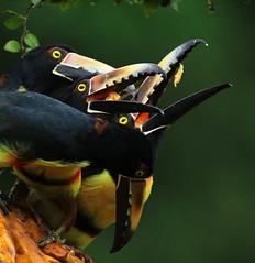 Collared aracaris - Costa Rica