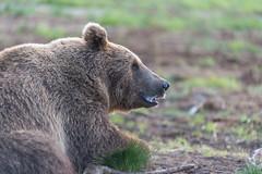 Bears @ Viiksimo Wildlife