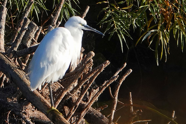 Little Egret Rutland Water 26-9-20