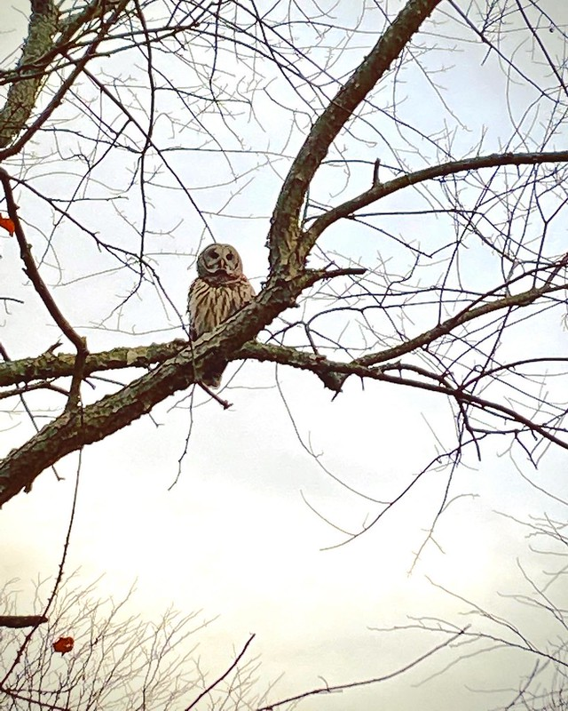 Perched Above #owl #champaignforests #forestpreserve #thecoolestthingisawtoday .... He flew in from the woods and alighted on a branch directly above the trail. Before landing, I thought it was a hawk. What an amazing sight.